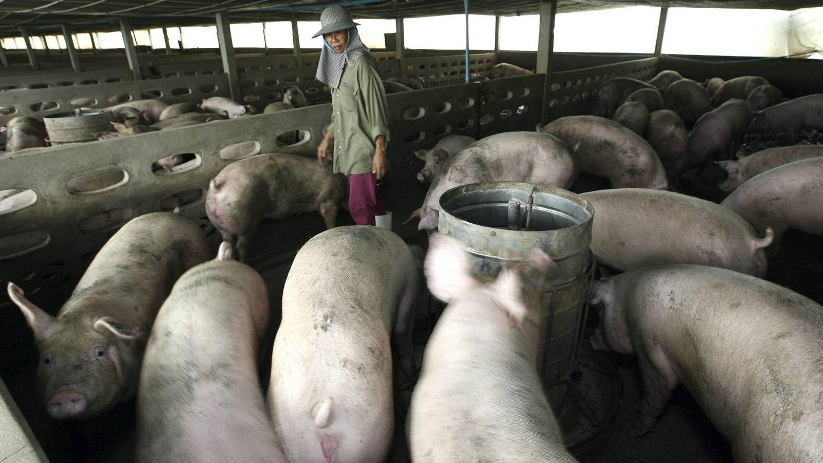 Los científicos detallaron que hay una nueva cepa de gripe de reciente aparición que es transmitido por cerdos pero pueden infectar a los humanos